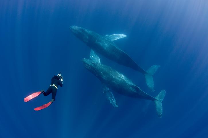 Taucher fotografiert Wale unter Wasser