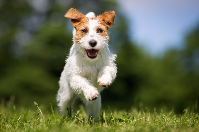 Hund spielt im Gras