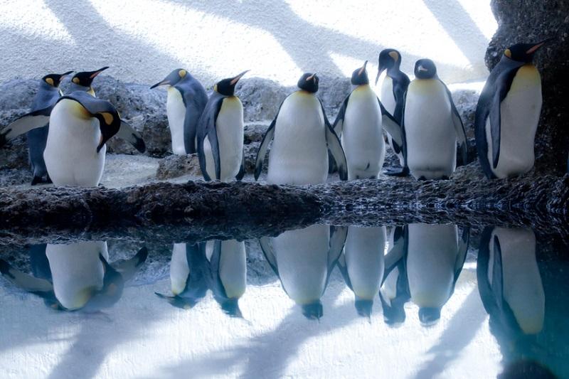 Gruppe Pinguine spiegelt sich im Wasser